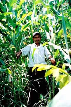Farmer in tall maize grown with Inga