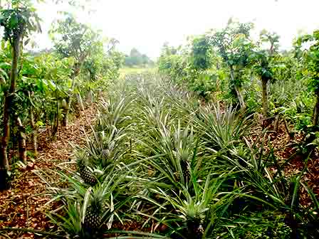 Pineapples in Inga alley