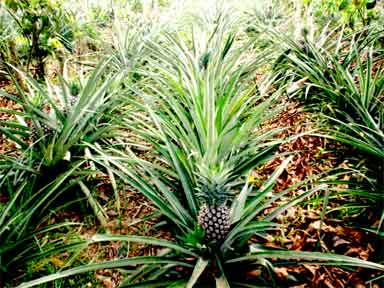 Pineapples.in Inga alley